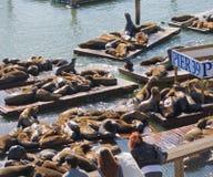 在码头39,旧金山,美国的加利福尼亚海狮 库存照片