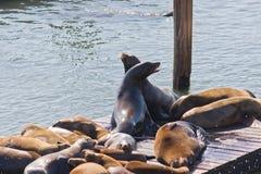 在码头39,旧金山,美国的加利福尼亚海狮 免版税库存图片