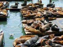 在码头39,旧金山,美国的海狮 免版税图库摄影
