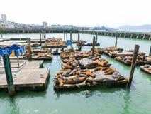 在码头39,旧金山,美国的海狮 免版税库存图片