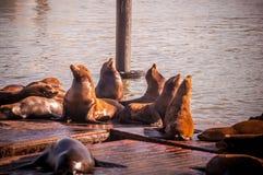 在码头39,旧金山,美国的海狮 库存图片