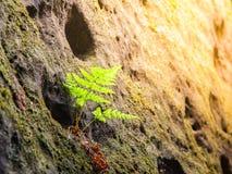 在砂岩墙壁的小绿色蕨 自然的详细资料 库存照片