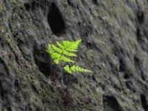 在砂岩墙壁的小绿色蕨 自然的详细资料 免版税库存照片