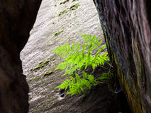 在砂岩墙壁的小绿色蕨 自然的详细资料 免版税图库摄影