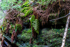 在砂岩岩石的青苔在森林 免版税库存照片