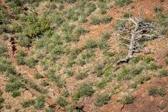 在砂岩峭壁的杜松树 库存照片