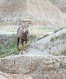 在砂岩的大垫铁绵羊 库存照片