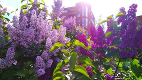在砖住宅房子前面的紫罗兰色桃红色和紫色淡紫色灌木在Zelenograd,莫斯科,俄罗斯郊区镇  库存图片
