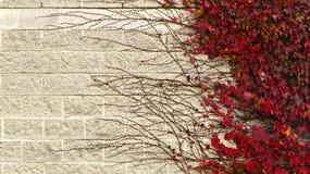 在砖墙上的上升的植物 免版税图库摄影