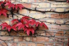 在砖墙上的常春藤 库存照片