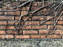在砖墙上的树根 免版税库存照片
