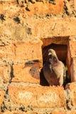 在砖墙上的灰色鸽子 免版税库存照片