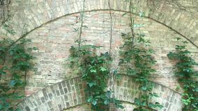 在砖墙上的爬行绿色植物 有常春藤的高砖墙 股票录像
