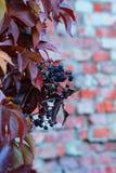 在砖墙上的狂放的葡萄 免版税库存照片