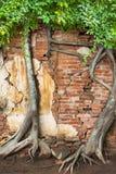 在砖墙上的登山人树 免版税库存图片