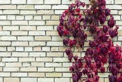 在砖墙上的红色秋天叶子 免版税库存图片