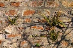 在砖墙上的铁角蕨属 库存照片