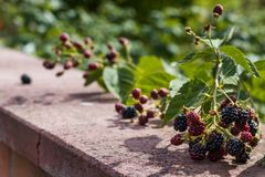 在砖墙上的黑莓 免版税库存照片