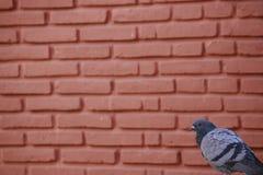在砖墙壁角落的鸽子 库存图片