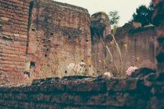 在砖墙废墟的石南木绽放  库存照片