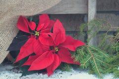 在砖墙背景的圣诞节一品红 定调子 库存图片
