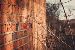 在砖墙背景的野生红色莓果 免版税库存照片