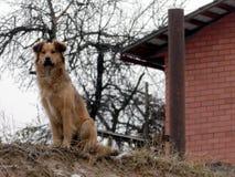 在砖瓦房附近的护卫犬 库存照片