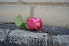 在砖的红色玫瑰 免版税图库摄影