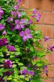 在砖篱芭的铁线莲属花 免版税库存照片