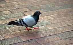 在砖边路的鸽子 免版税图库摄影