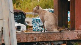 在破旧的街道上的无家可归的美丽的发烟性猫贫寒的 影视素材