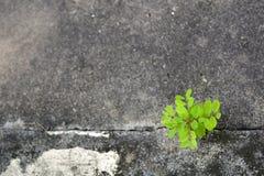 在破裂的水泥的绿色树 库存图片