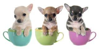 在碗的小狗奇瓦瓦狗 免版税库存图片