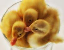 在碗的小的鸭子 免版税库存图片
