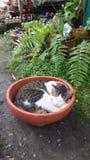 在碗的猫睡眠 免版税库存图片