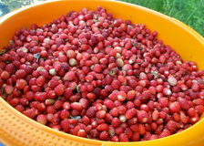 在碗的野草莓 免版税库存照片