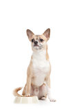 在碗附近的淡黄的小狗用草料 免版税库存照片
