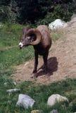 在碧玉的大垫铁绵羊 免版税库存照片