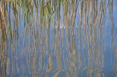 在磅水反映的芦苇 免版税库存照片