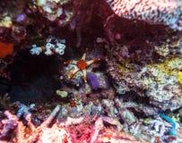 在礁石桑迪底部的红色海星  免版税库存照片