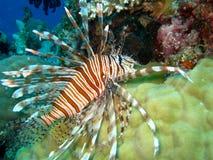 在礁石游泳的障碍珊瑚极大的蓑鱼 免版税图库摄影