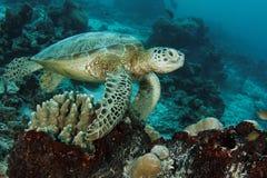 在礁石的乌龟 库存图片