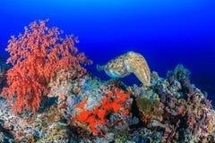 在礁石的乌贼 库存图片