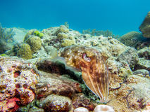 在礁石的乌贼 免版税库存图片