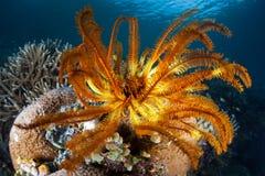 在礁石的五颜六色的Crinoid 免版税图库摄影