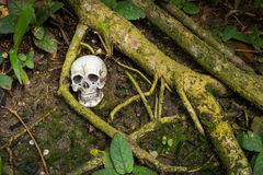 在礁石的人的头骨在根腐朽与mo 免版税库存照片