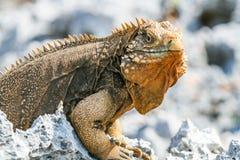 在礁石的古巴鬣鳞蜥 库存照片