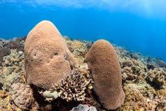在礁石的坚硬珊瑚手指 库存图片