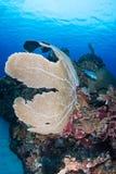 在礁石的夏恩爱好者 免版税库存照片