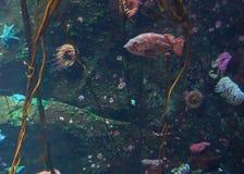 在礁石的孤立鱼 图库摄影